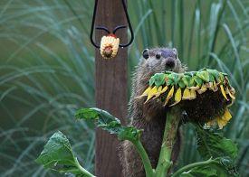 image of groundhog  - Wood chuck  - JPG
