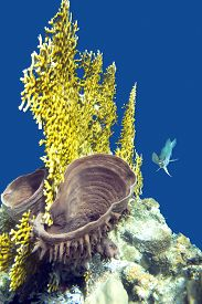 picture of fire coral  - coral reef with fire coral and sea sponge on the bottom of tropical sea  - JPG