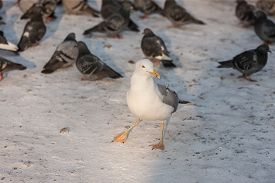 picture of flock seagulls  - large flock of pigeons and seagull in winter - JPG