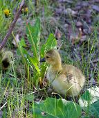 picture of mother goose  - Young goose is searching for his mom - JPG