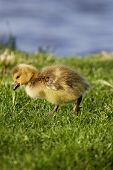 picture of mother goose  - Cute chick of the cackling geese is going somewhere - JPG