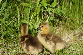 pic of mother goose  - Very cute chicks of the cackling geese on the grass - JPG