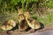 stock photo of mother goose  - The strong reaction of the young cackling geese - JPG