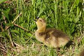 image of mother goose  - The pleasant taste of a food for a young Canada goose - JPG