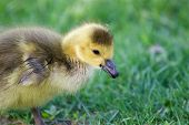stock photo of mother goose  - Very cute chick is eating the grass - JPG