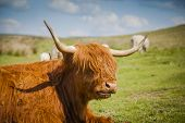 picture of highland-cattle  - Grazing Highland cattle in North York Moors National Park - JPG