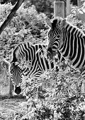picture of camoflage  - Striped Black and white zebra at zoo - JPG