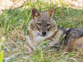 stock photo of jackal  - European golden jackal  - JPG