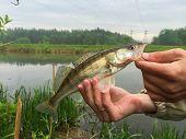 stock photo of fisherman  - Freshly caught zander - JPG