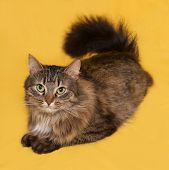 pic of yellow tabby  - Fluffy tabby cat lies on yellow background - JPG