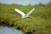 picture of wetland  - White snowy egret crane bird flying over water and grass in wetlands - JPG