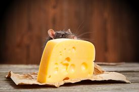 stock photo of rats  - Pet rat with a large piece of cheese - JPG