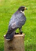 Peregrine falcon looking right