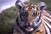 Bengaltiger2