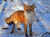 Red Fox 31