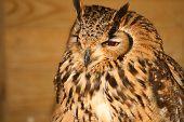 Eagle Owl (1598)