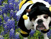 Bulldog Bumble Bee In The Texas Bluebonnets
