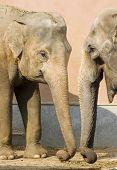 Elephants talking