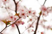 Sakura spring blossoms, shallow DOF