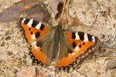 small tortoise-shell butterfly on ground