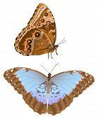illustration with blue morpho isolated on white background
