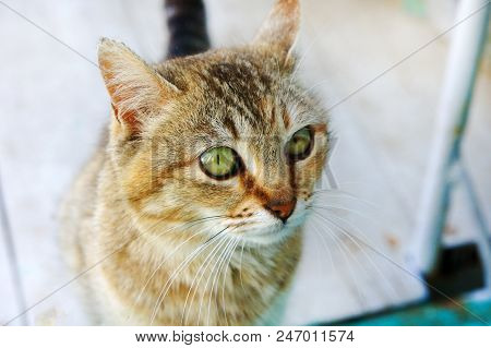 poster of Tabby Cat Cat Head Looking Big Cat's Eyes Young Cat
