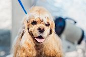 Female Groomer Haircut Cocker Spaniel On The Table For Grooming In The Beauty Salon For Dogs. poster