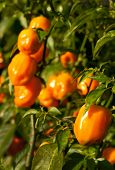 Habanero Peppers (Capsicum Chinense) Growing on Plants