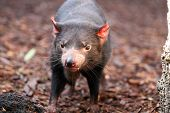 image of taz  - Tasmanian Devil making eye contact  - JPG