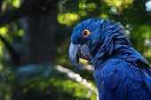 Close Up Of Vivid Blue Hyacinth Macaw, Blue Parrot Portrait With Blurred Background poster