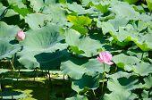 Beautiful Pink Lotus Flowers