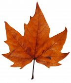 Maple Leaf In Autumn