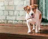 Front Portrait Of Small Cute Happy Smiling Dog Jack Russel Terrier Standing Outside On Wooden Porch  poster