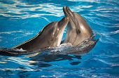 stock photo of oceanography  - Pair of dolphins dancing in light - JPG