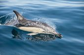 Common Dolphin, Bay of Islands, New Zealand