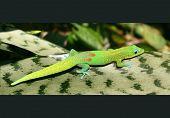 Gecko Sunning On Leaf