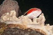 stock photo of hawkfish  - A close up on a freckled hawkfish on coral KwaZulu Natal South Africa