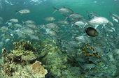 Sipadan Trevally and Reef