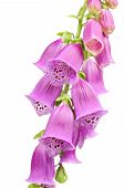 Purple Foxglove (Digitalis Purpurea) Flowers On White Background