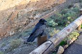 Raven Bird At Viewpoint Mirador Astronomico De Sicasumbre Between Pajara And La Pared   On Canary Is poster