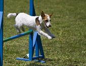 Jack Russell Terrier Runs Agility Course
