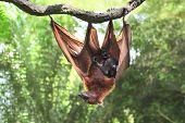 Female of flying fox with cub on a branch in tropical forest poster
