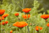 Orange Camomile Or Marigold Flowers