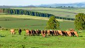 Scenic Summer Mountain Farmlands With Cattle Animal Herd Morning Eating The Grass Panoramic Summer L poster
