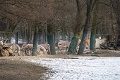 Zebra Herd In The Background, Snowy Foreground. poster