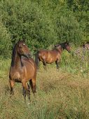 A Group Of Welsh Section D Ponies Graze A Spring Paddock. poster