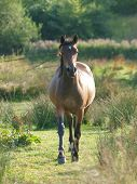 A Bay Welsh Pony Trots Towards The Camera Through A Meadow. poster