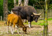 Beautiful Portrait Of A Banteng Cow And Bull Together In The Pasture, Endagered Animal Specie From I poster