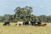 A Herd Of Cattle Grazing In A Florida Field poster
