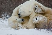 picture of polar bears  - Two polar bears wrestling on the tundra near Churchill Manitoba - JPG
